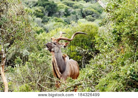 Kudu Eating On A Leaf