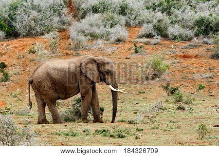 Elephant Walking Sadly Away