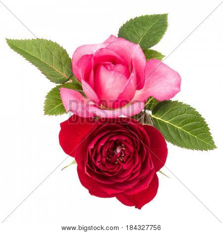 two red and pink rose flowers  isolated with leaves on white background cutout