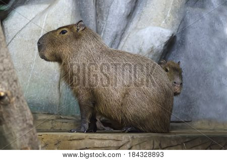 capybara with offspring in the background of stones