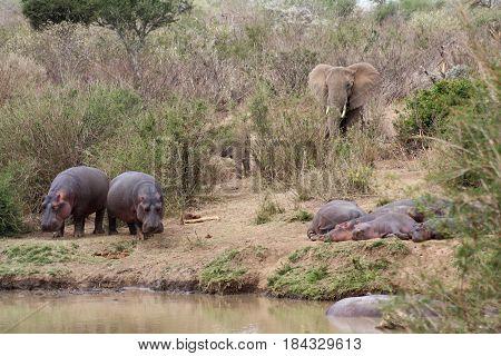 Elephants (Loxodonta africana) join a group of hippos (Hippopotamus amphibius) on the banks of the Ewaso Nyiro River.