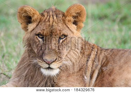 Portrait of a young lion (Panthera leo) making eye contact.