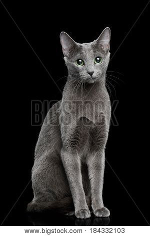 Russian blue Cat Sitting on Isolated Black Background