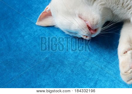 Close up sleep or die cat on blue sofa copy space