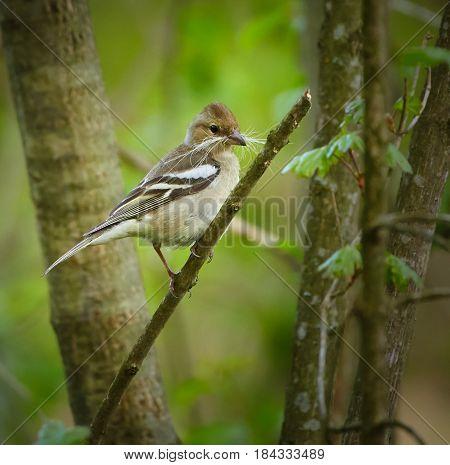 Female Chaffinch Building Nest