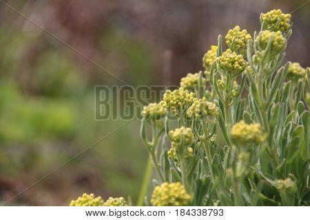 Golden Alyssum is a famous flower in the garden