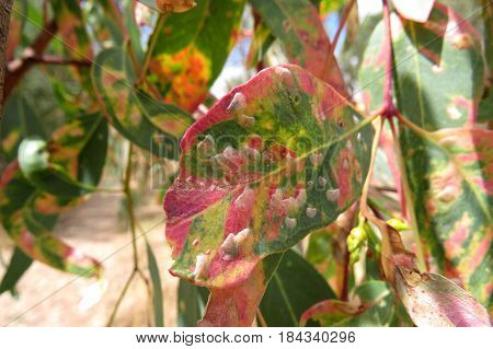 Eucalyptus gum leaves along an Australian bush walking trail track with fungal disease