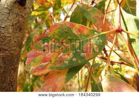 Eucalyptus gum leaves along an Australian bush walking trail track with fungal disease
