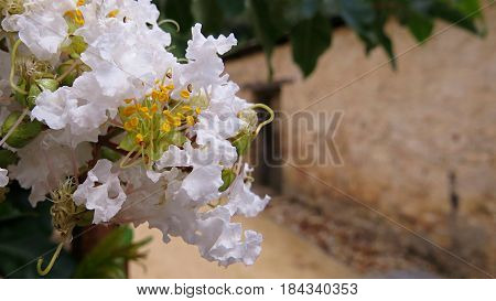 White Crepe Myrtle Crape Myrtle Lagerstroemia banaba flowers in bloom along a Mediterranean style cobbled street