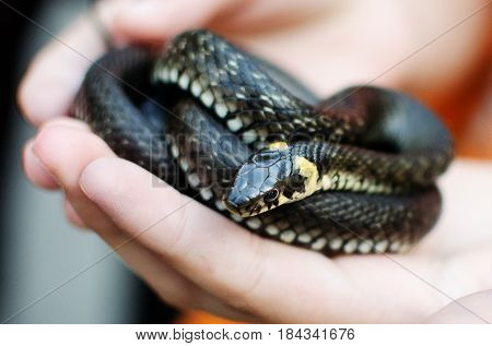 A small long non-venomous snake curled into a spiral rests on the palms of a small white boy