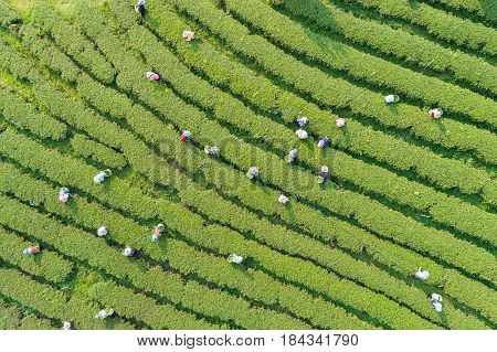 Woman Worker Picking Tea Leaves At A Tea Plantation In North Of Thailand. Aerial View From Drone