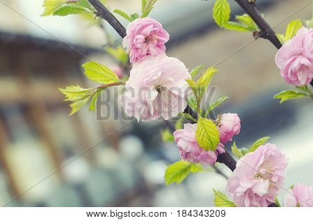 Sakura cherry flower blossom in spring. Spring floral branch. Beautiful flowers on a tree branch. Spring Background.