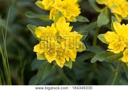 Macro of a flower of cushion spurge (Euphorbia epithymoides)