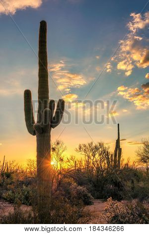 Saguaro Cactus at sunset in Sonoran Desert, Arizona.
