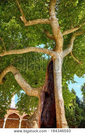 One of the hollow trees in the Second Courtyard of Topkapi Palace Istanbul Turkey