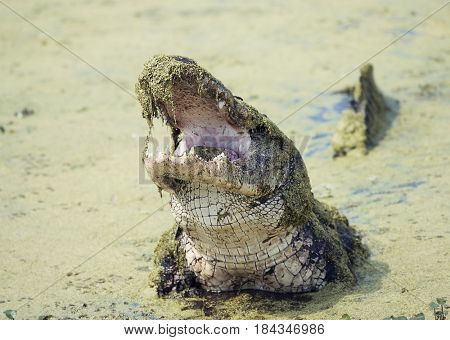Alligator rises head in a swamp with its mouth open