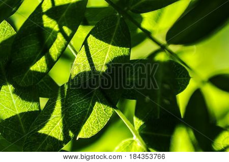 leaves are translucent in the sun. Green spring background. Close-up macro