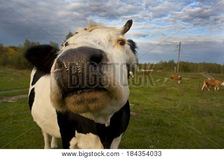 Cow in the meadow. Cow head. Black and white cow