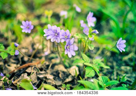 Blue Wildflower Hepatica Growing In The Forest