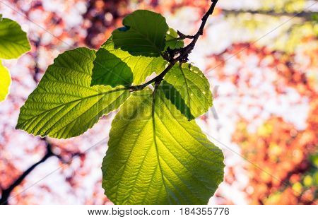 Close-up of green Leaves. Light-flooded Leaves in the morning light.