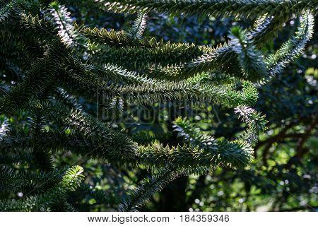 Close-up of a green Branch. Thorny Branches of a Araucaria (Araucaria araucana)