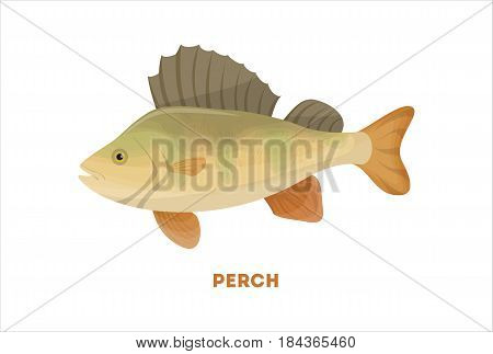 Isolated perch fish on white background. Fresh food.