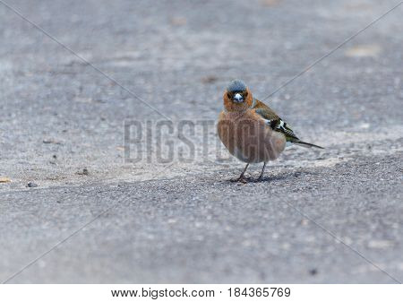 small bird with blue feathers on his head, finch, standing on the asphalt in the park, close, close-up, looking at the camera, straight,
