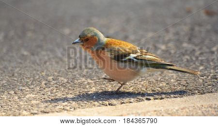 In the profile view, runs along the asphalt, small bird with blue feathers on his head, finch, standing on the asphalt in the park, close, close-up, looking at the camera,