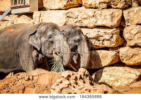 JERUSALEM, ISRAEL - JANUARY 23: Two Asian elephants eating palm branches, Biblical Zoo in Jerusalem, Israel on January 23, 2017
