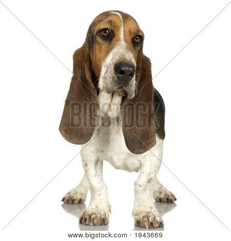 Basset Hound  -  Hush Puppies