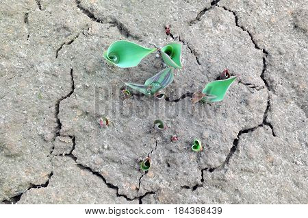 Unblown spring tulips growing from cracked earth. Top view.