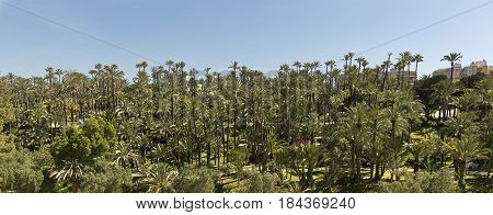View Of The Palm Grove Of Elche.