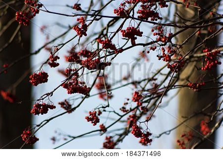 Autumn Rowan (ashberry)