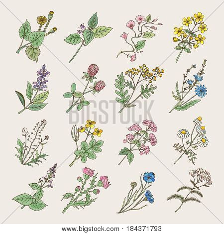 Botanical herbs and flowers. Hand drawing pictures isolate on white background. Botanical flower blossom, illustration of drawing herb and flower