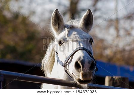 White Horse`s Portrait