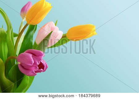Bright tulips bouquet closeup isolated on blue background, copy space. Bouquet of colorful flowers