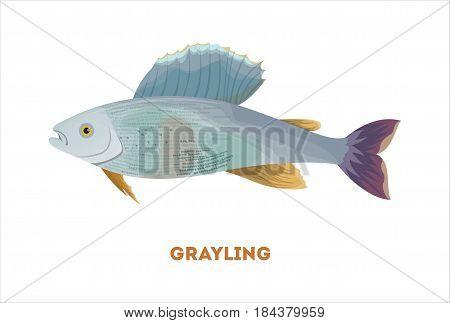 Isolated grayling fish on white background. Fresh food.