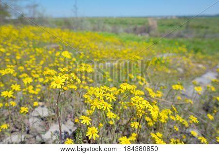 Yellow Ragwort flowers Senecio erucifolius