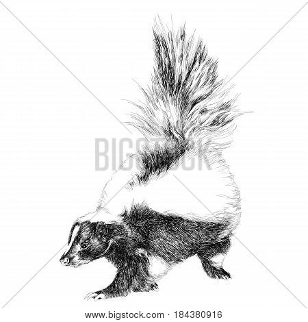 skunk full figure sketch vector graphics black and white drawing