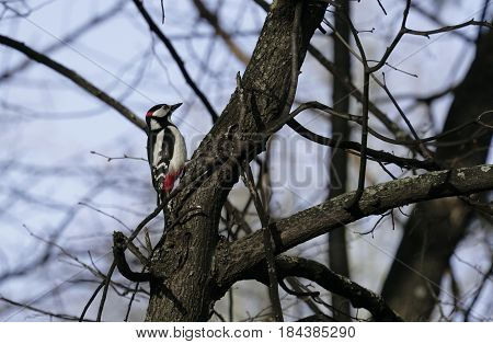 Bird woodpecker in natural habitat. The woodpecker moves quickly through the trees finds food and eats it. Sunny spring day in the forest.