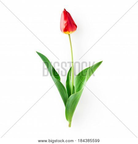 Red tulip flower with leaves. Single object isolated on white background clipping path included. Spring garden flowers