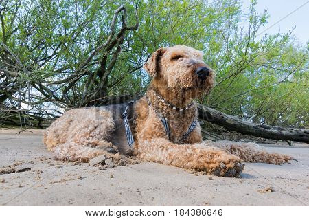 Old Airedale Terrier Realaxing In The Shadow On A Beach