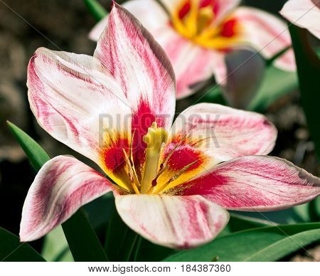 tulip , one, white with pink stripes, opened in full bloom, bright red with pink middle and yellow pistil, growing in the garden, green leaves, against the background of brown earth, sunny day,