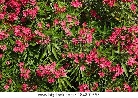Beautiful Nature background with Pink Flowers Nerium oleander. Horizontal Summer Wallpaper. As ornamental plants the oleander is widely used in landscape design.