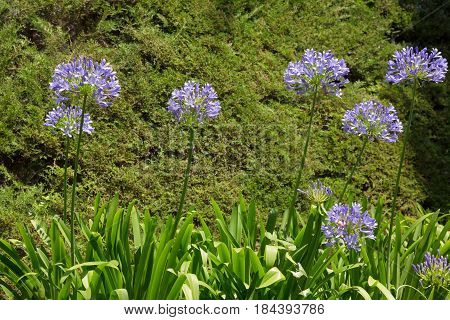 Nature Background with blossoming agapanthus african flowers. Flowers growing in the garden in Summer. Colorful Natural Horizontal Wallpaper
