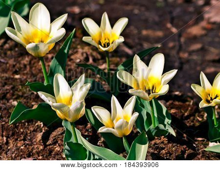 tulips with a yellow center and pointed petals, six pieces, grow in a park in the garden, against a background of brown earth, green leaves, a sunny day, the flowers opened and in full bloom