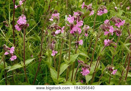 Red campion, a common hedgerow wild flower in May