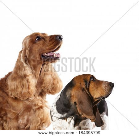Spaniel dog and Basset hound look up, dog profiles