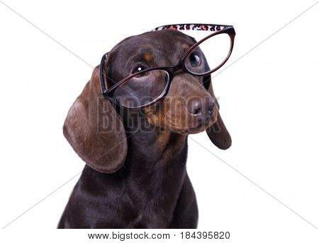 Dachshund dog in Glasses
