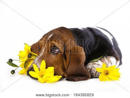 Basset hound dreams and bouquet of flowers